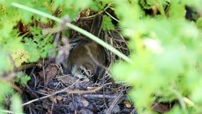 Ein kleiner Vogel und Eier im Nest stock video