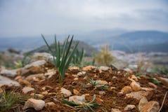 Ein kleiner wachsender Kiefernsprössling am Lehmboden und -steinen Stockfotos