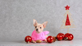 Ein kleiner weißer Hund mit Rotbällen des neuen Jahres Stockfoto