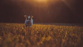 Ein kleiner weißer Hundesteckfassungs-Russell-Terrier, der auf Wiese in den Strahlen der untergehenden Sonne läuft Stockfoto
