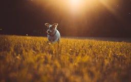 Ein kleiner weißer Hundesteckfassungs-Russell-Terrier, der auf Wiese in den Strahlen der untergehenden Sonne läuft Lizenzfreie Stockbilder