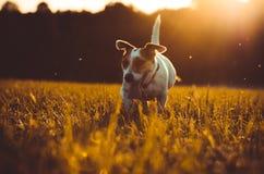 Ein kleiner weißer Hundesteckfassungs-Russell-Terrier, der auf Wiese in den Strahlen der untergehenden Sonne läuft Stockbilder