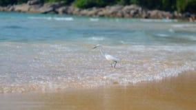 Ein kleiner weißer Reiher fischt auf dem Ozean auf dem Strand mit Touristen Fing und aß Fische stock video