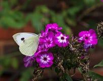 Ein kleiner weißer Schmetterling auf einer Flammenblumeblume Stockfotografie