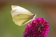 Ein kleiner weißer Schmetterling auf einer purpurroten Blume Lizenzfreie Stockfotografie