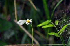 Ein kleiner weißer Schmetterling extrahiert Nektar von einer Shaggy Soldier-Unkrautblume lizenzfreies stockbild