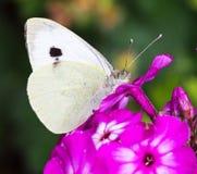 Ein kleiner weißer Schmetterling hockte auf einem Purpur Lizenzfreie Stockfotografie
