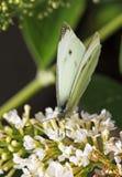Ein kleiner weißer Schmetterling hockte auf einer weißen Blume Lizenzfreies Stockfoto
