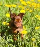 Ein kleiner Welpe, der im grünen Gras sitzt Russisches Spielzeug Lizenzfreies Stockfoto