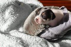 Ein kleiner Welpe, Jack Russell Terrier, öffnete seine Augen zum ersten Mal und sieht die Welt auf den Augen Der Hund liegt auf e Stockfotografie