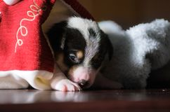 Ein kleiner Welpe, Jack Russell Terrier, öffnete seine Augen zum ersten Mal und sieht die Welt auf den Augen Der Hund liegt auf e Lizenzfreies Stockbild