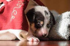 Ein kleiner Welpe, Jack Russell Terrier, öffnete seine Augen zum ersten Mal und sieht die Welt auf den Augen Der Hund liegt auf e Lizenzfreie Stockfotos