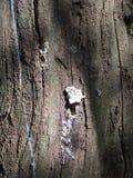 Ein kleines Büschel des weißen Pilzes wachsend auf der Seitenbarke von a-Baum Stockbilder