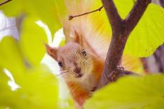 Ein kleines Eichhörnchen schaut durch die Blätter stockbilder