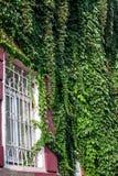 Ein kleines Fenster in einem weißen Rahmen Backsteinmauer geflochten mit wilden Trauben Töpfe mit Anlagen am Fenster Lizenzfreies Stockfoto
