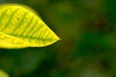 Ein kleines gelbes Blatt und grünen Adern Auf einem farbigen Hintergrund Makro Lizenzfreies Stockfoto