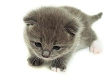 Ein kleines graues Kätzchen Stockfotos
