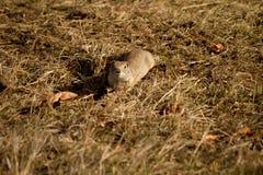 Ein kleines Grundeichhörnchen Stockfoto
