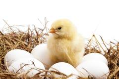 Ein kleines Huhn ist in einem Nest Lizenzfreie Stockfotos