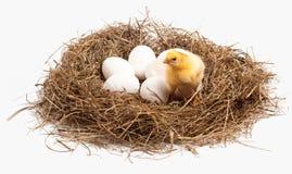 Ein kleines Huhn ist in einem Nest Lizenzfreie Stockfotografie