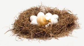 Ein kleines Huhn ist in einem Nest Stockbild