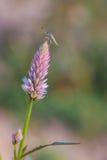 Ein kleines Insekt auf der purpurroten Blume Stockfotos