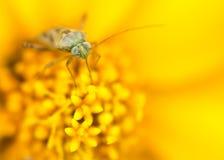 Ein kleines Insekt, das auf einer gelben Blume stillsteht Abschlusshoher und Makroschuß stockfotografie