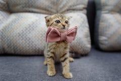 Ein kleines Kätzchen sitzt auf der Couch in einer Fliege, die zum Cer bereit ist Lizenzfreie Stockfotografie