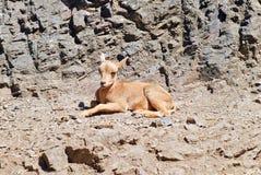 Ein kleines Kitz auf dem Hintergrund von Felsen Stockfotos