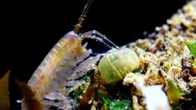Ein kleines Krebs der Klasse Gammarus, gefangen durch einen kleinen Actinia - ein Eindringling Diadumene-lineata stock footage