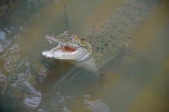 Ein kleines Krokodil hob seinen Kopf aus schlammigem Wasser heraus an und öffnete seinen Mund Krokodil umgeben durch congeners An lizenzfreie stockfotografie