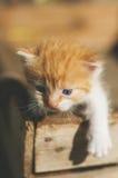 Ein kleines lustiges rotes Kätzchen mit blaue Augen in einem hölzernen rustikalen BO Stockbilder