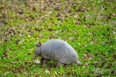 Ein kleines nettes Gürteltier in Abbeville, Louisiana lizenzfreie stockfotografie