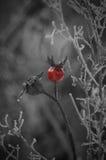 Ein kleines Rot färbte Hundrose auf Schwarzweiss-Hintergrund Stockfoto