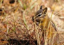 Ein kleines Streifenhörnchen, das einen Nachmittagsimbiss genießt lizenzfreies stockfoto