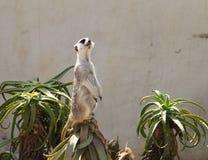 Ein kleines surakat sitzt auf Aloe und untersucht den Abstand Stockfotos