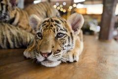 Ein kleines Tigerstillstehen Stockfotos