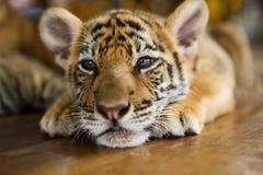 Ein kleines Tigerstillstehen Lizenzfreies Stockfoto