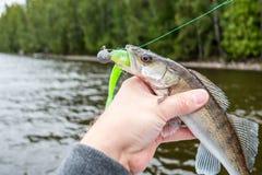 Ein kleines zander, das einen grünen Spannvorrichtungsköder, Fischer herein hält ihn beißt lizenzfreie stockfotos