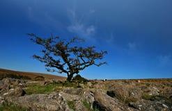 Ein knotiger Baum auf Weatherdon Hügel Stockfotos