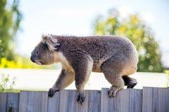 Ein Koala-Bär, der entlang einen Zaun geht lizenzfreie stockbilder