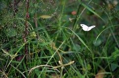 Ein Kohl-Weiß Pieris rapae Schmetterling nahm offen-geflügeltes gefangen, wie es durch starkes Gras fliegt Stockfotos