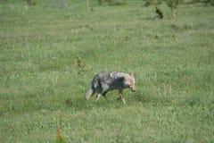 Ein Kojote ` s März Stockfotos
