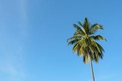 Ein Kokosnussbaum Stockbilder