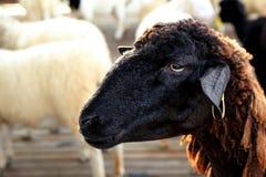 Brown-Schafe Stockbilder