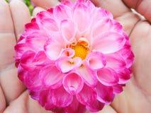 Ein Kopf der Dahlie in den Händen, im Garten am sonnigen Tag des Sommers lizenzfreie stockbilder