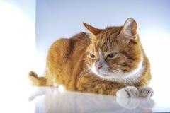 Ein Kopf einer Katze Lizenzfreie Stockbilder