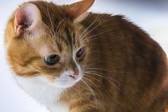 Ein Kopf einer Katze Lizenzfreie Stockfotos