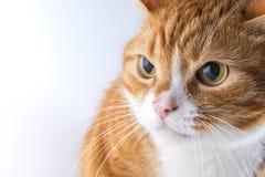 Ein Kopf einer Katze Lizenzfreies Stockfoto