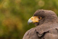 Ein Kopf von sichernden Harris Hawk, Falknerei Lizenzfreies Stockfoto